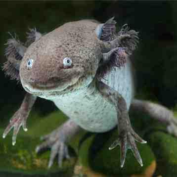 Quelle est la taille de l'axolotl?