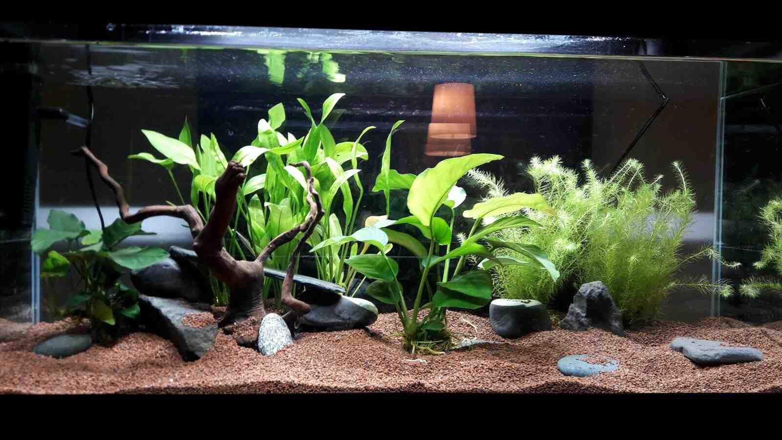 Quelle plante mettez-vous dans un aquarium?