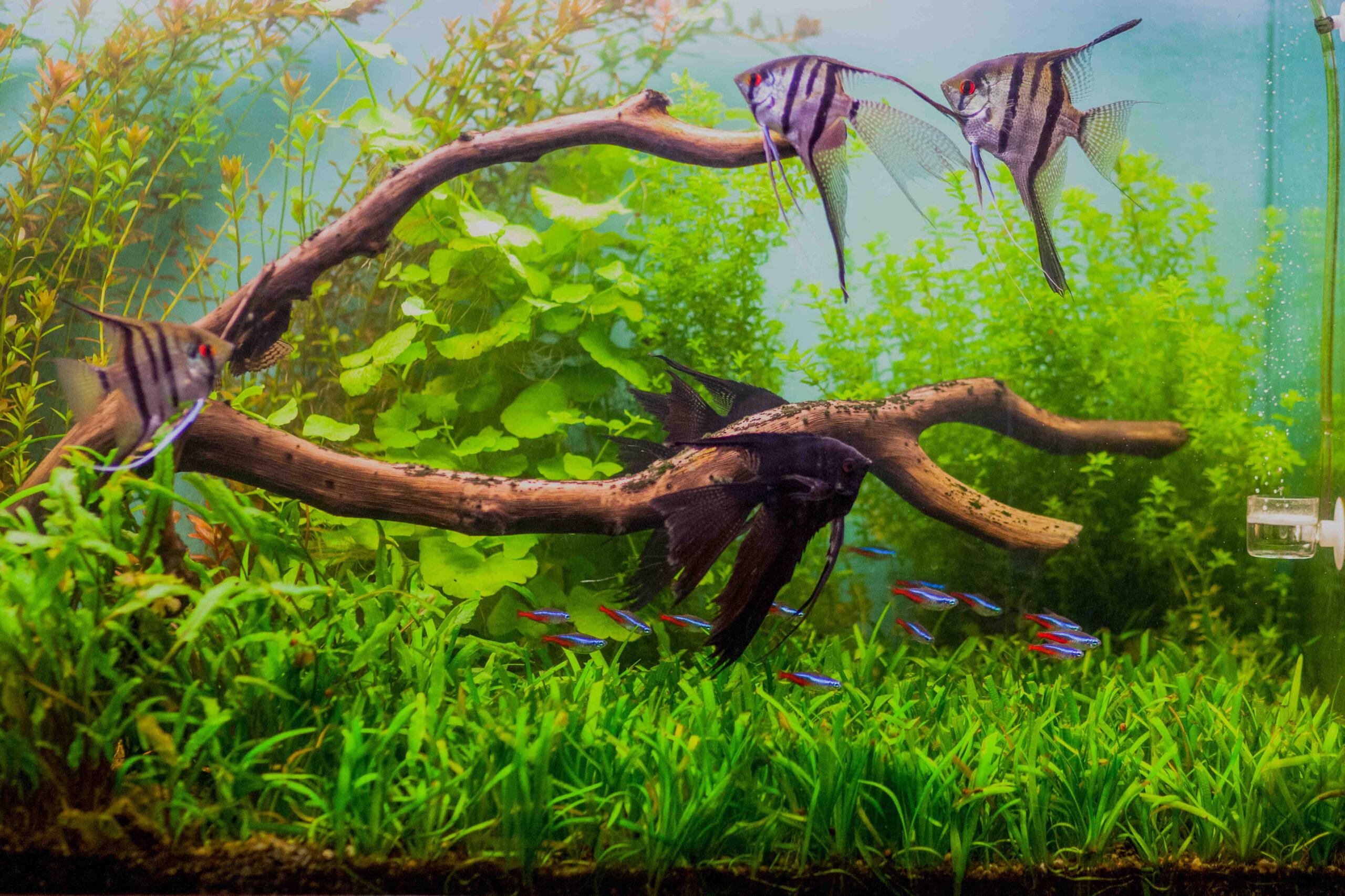 Quels poissons mis dans un aquarium de 250 l?