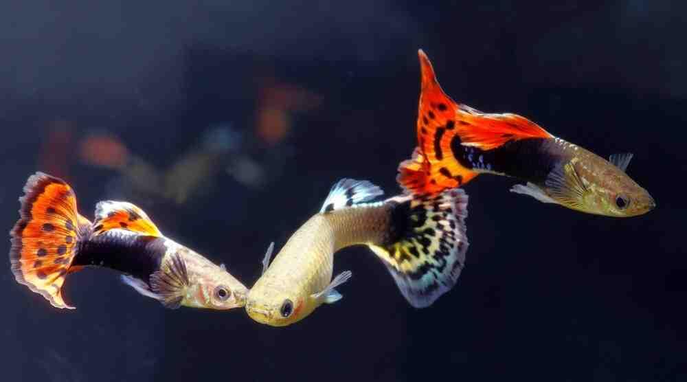 Quels poissons vivent avec des guppys?
