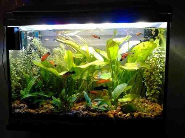 Comment faire pousser des plantes dans un aquarium?