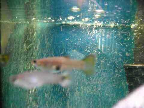 Comment faire reproduire mes poissons?