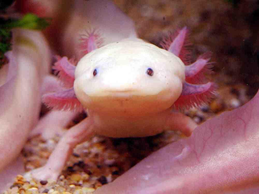 Comment gérer axolotl?