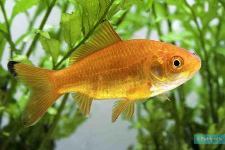 Comment mettre en place un aquarium de poissons rouges?