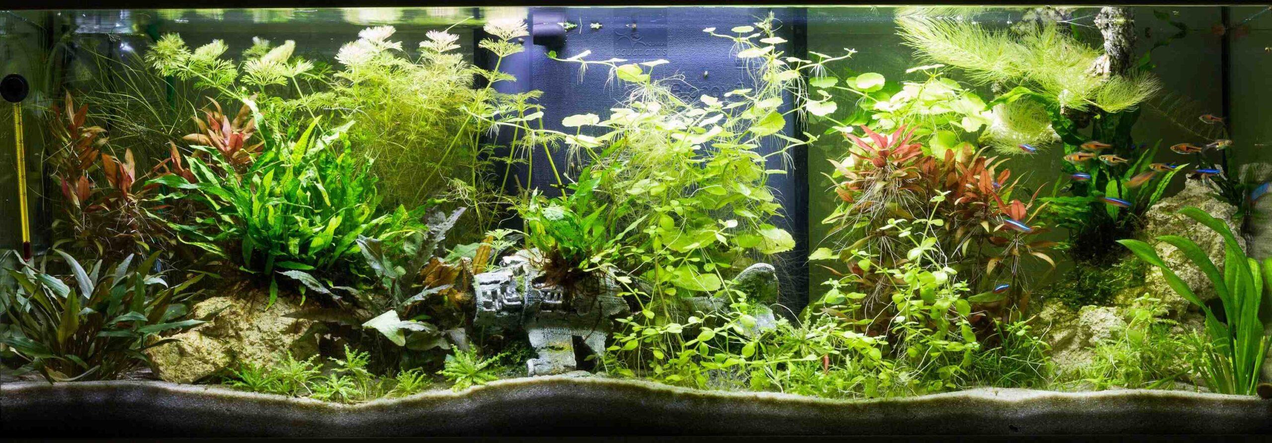 Comment obtenir de belles plantes dans un aquarium?