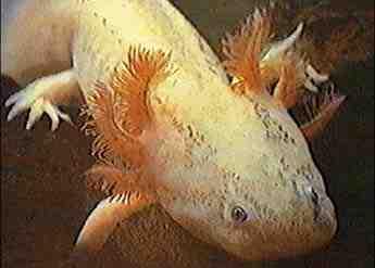 Comment prendre soin des œufs d'Axolotl?
