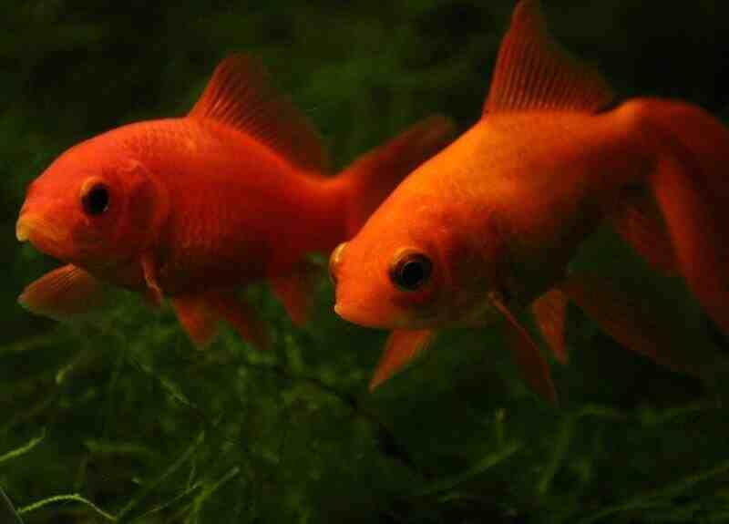 Comment protéger le poisson guppy?