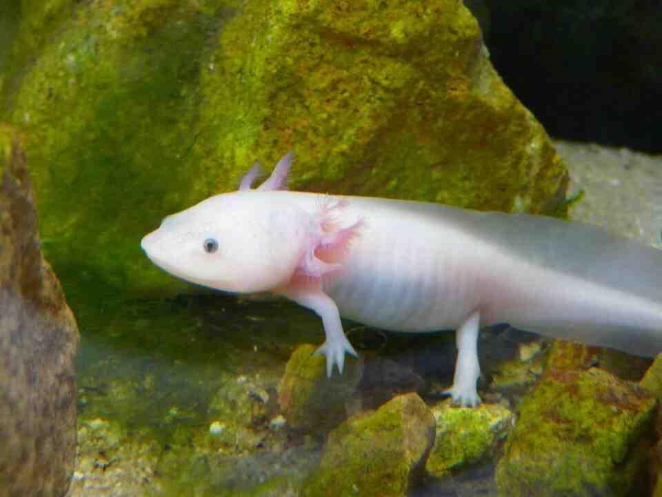 Comment reconnaître un axolotl mâle et femelle?
