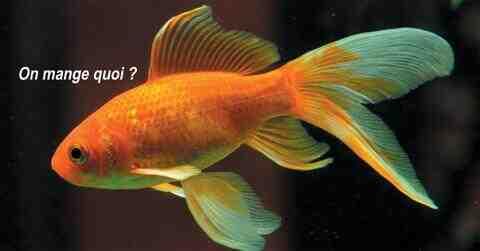 Est-ce que les poissons Guppy se mangent entre eux ?