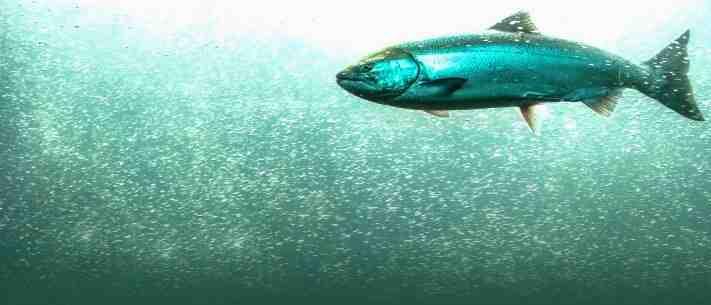 Les poissons rouges se mangent-ils?