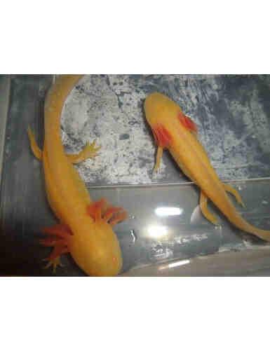 Où acheter axolotl?