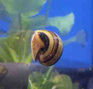 Pourquoi il y a des escargots dans mon aquarium ?