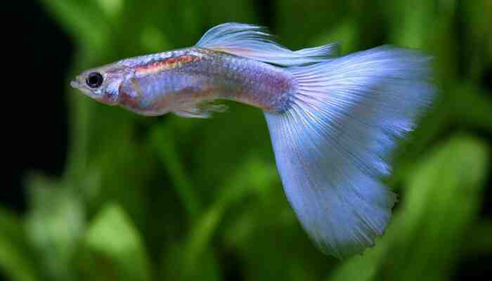 Pourquoi les poissons meurent-ils dans l'aquarium?