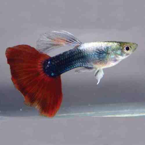 Pourquoi mon poisson guppy meurt-il?