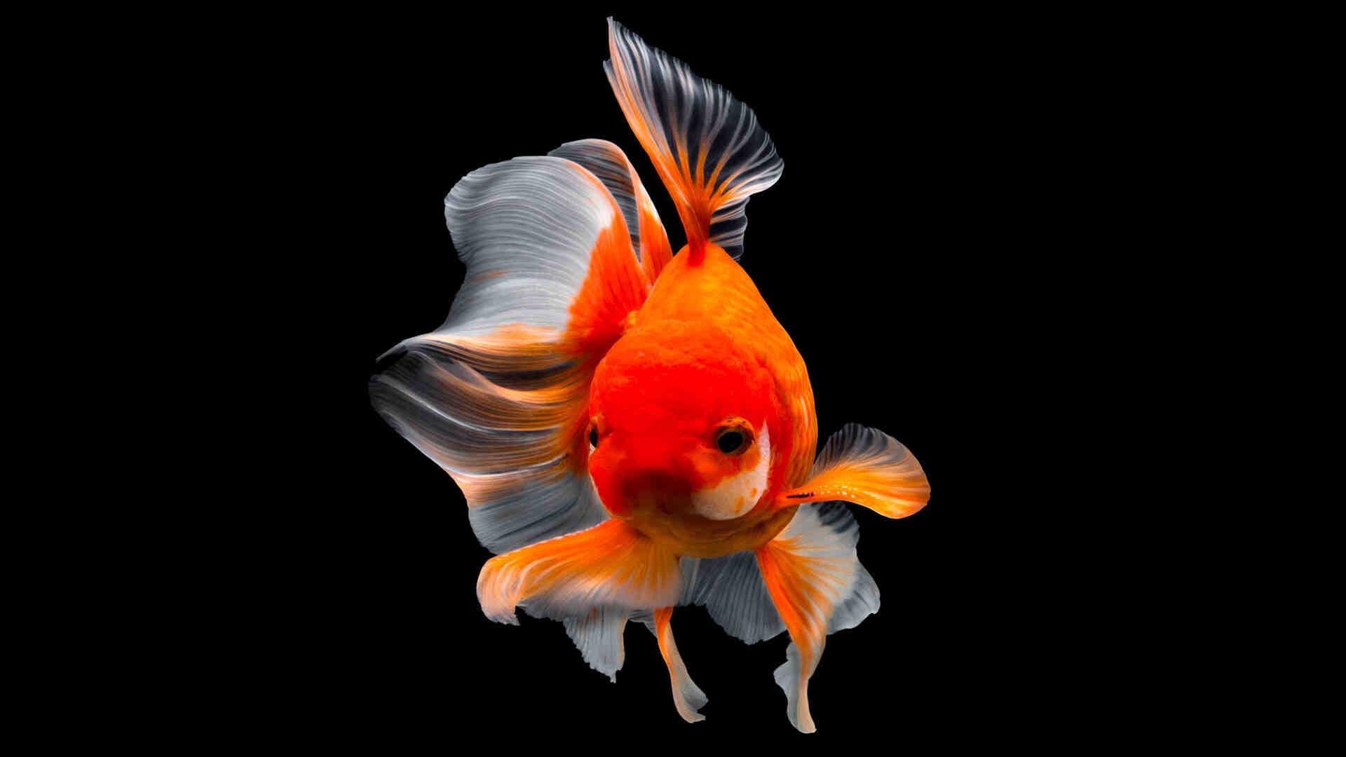Quand mettez-vous le poisson dans l'aquarium?