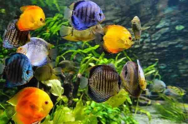 Quand mettre le poisson dans l'aquarium?