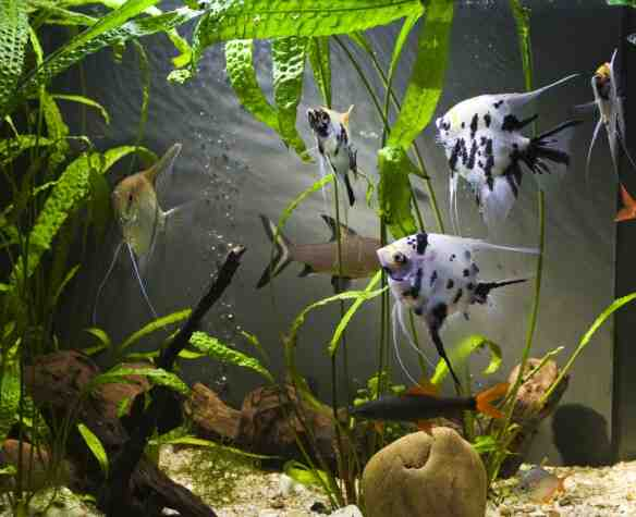 Quand mettre les poissons dans l'aquarium ?