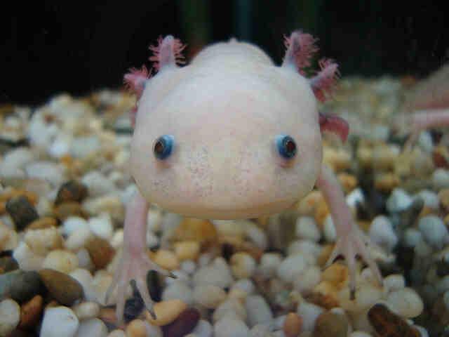 Quel aquarium est destiné à l'axolotl?