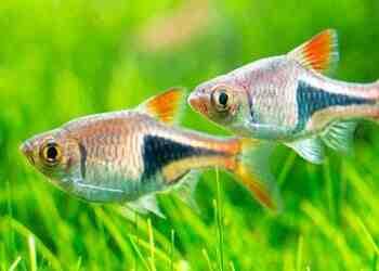 Quel genre de poisson pour un aquarium de 15 litres?