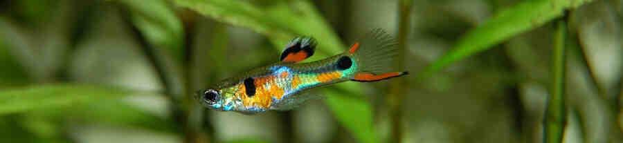 Quel poisson avec des guppys?