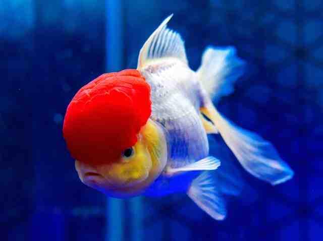 Quel poisson d'aquarium de 13 litres?