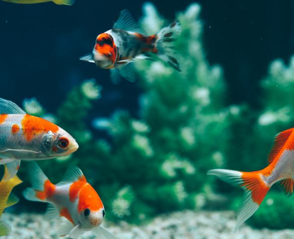 Quel poisson de l'aquarium n'est pas chaud?