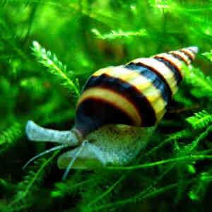 Quel poisson mange des escargots?