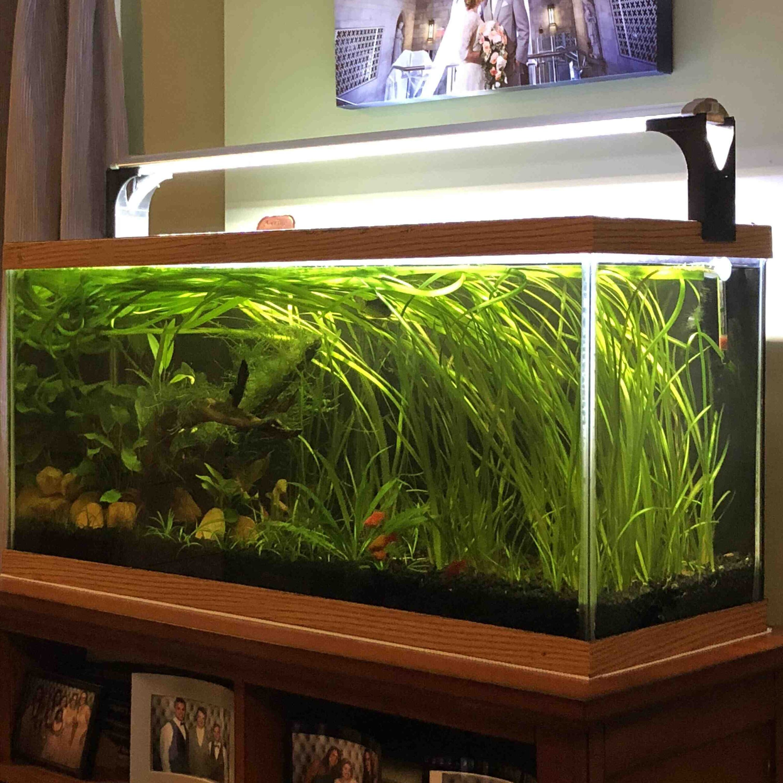 Quel poisson mettre en premier dans un aquarium?