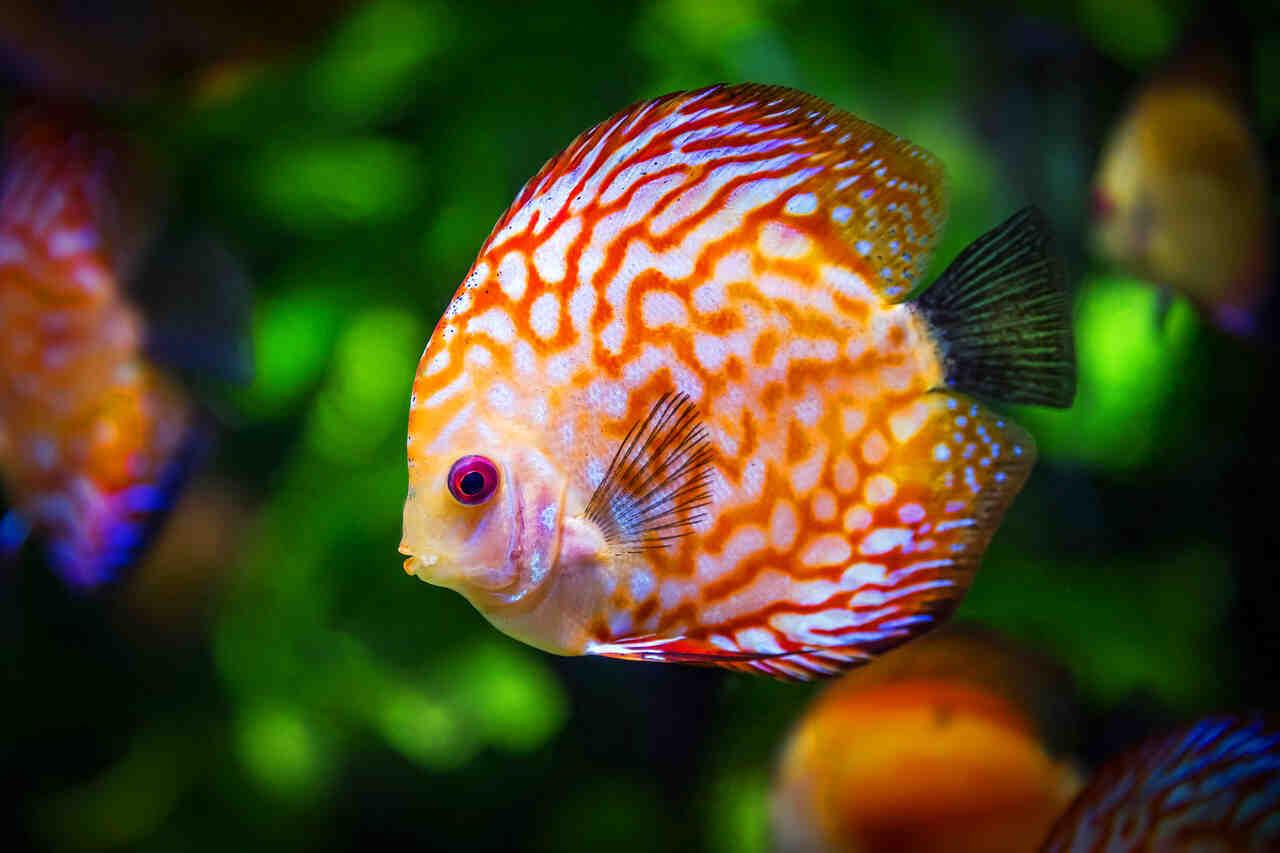 Quel poisson pour aquarium eau chaude ?