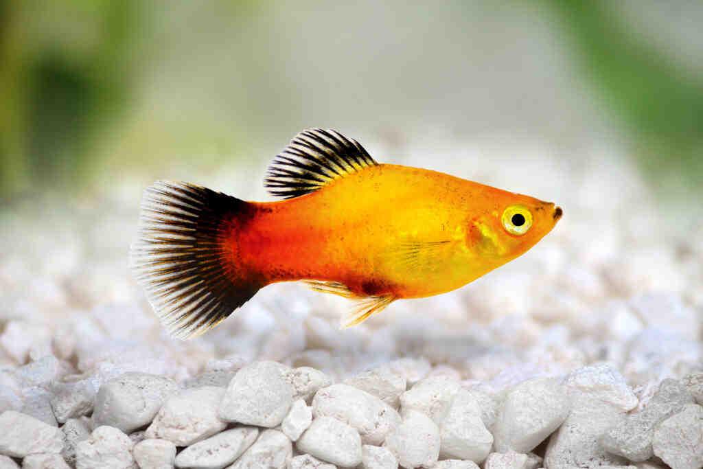 Quel poisson pour démarrer un aquarium?