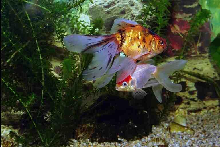 Quel poisson pour un aquarium de 13 litres?