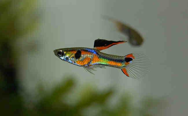 Quel poisson pour un aquarium de 20 l?