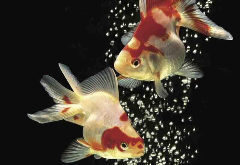 Quel poisson pour un aquarium de 60 litres ?