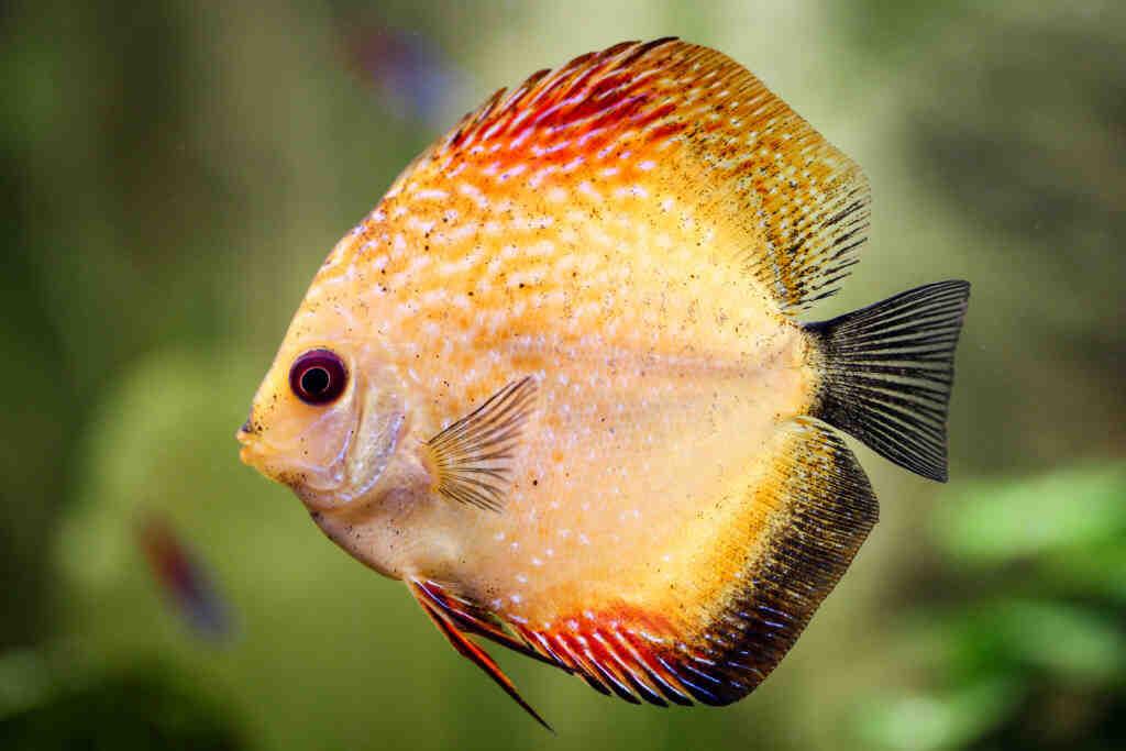 Quel poisson pour un aquarium non chauffé?