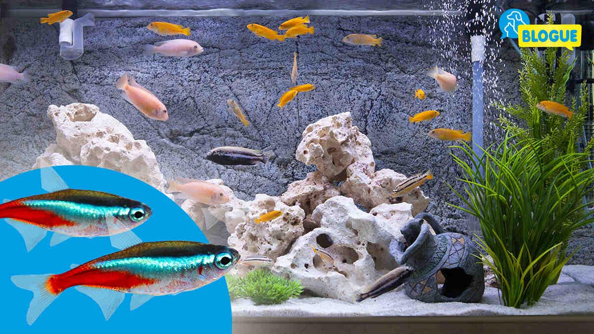 Quel poisson pour un aquarium sans chauffage?