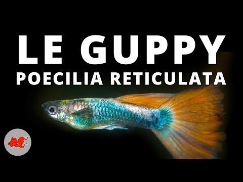 Quelle est la taille de l'aquarium pour Guppies?