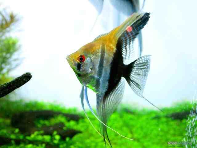Quelle température pour un poisson de combat?