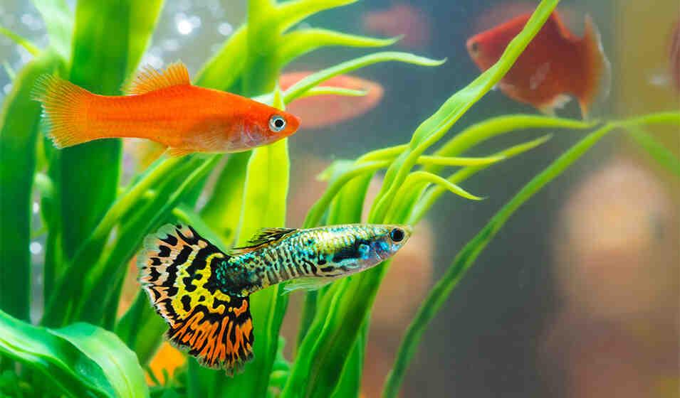 Quels poissons sont compatibles avec les Guppies?