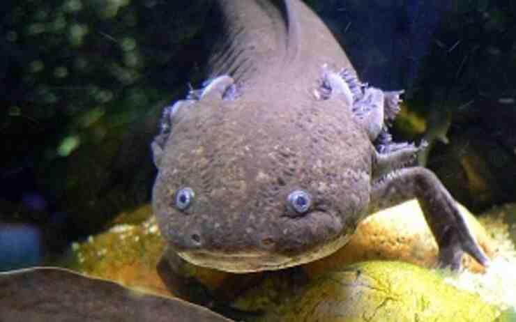 Qu'est-ce que l'eau axolotl?