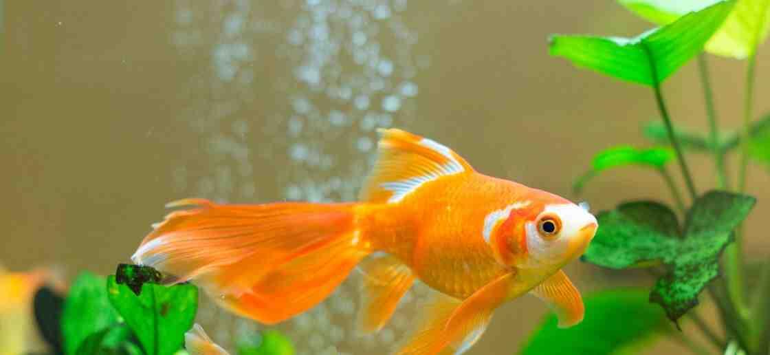 Comment distraire un poisson rouge?