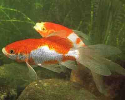 Comment sauver la vie d'un poisson rouge?