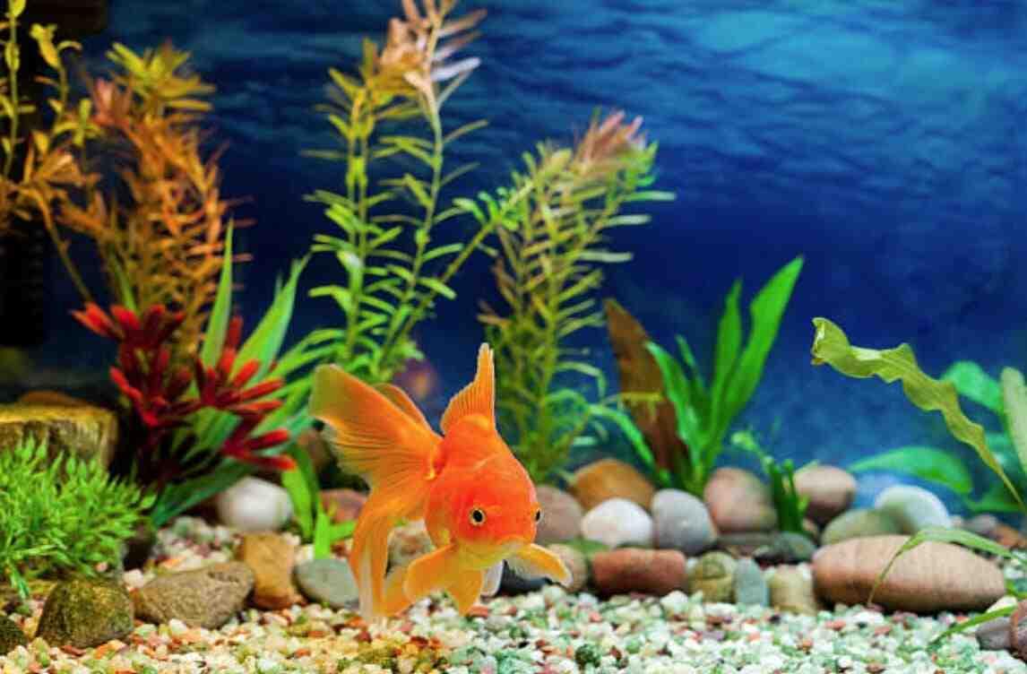 Comment savoir si un poisson rouge se porte bien?