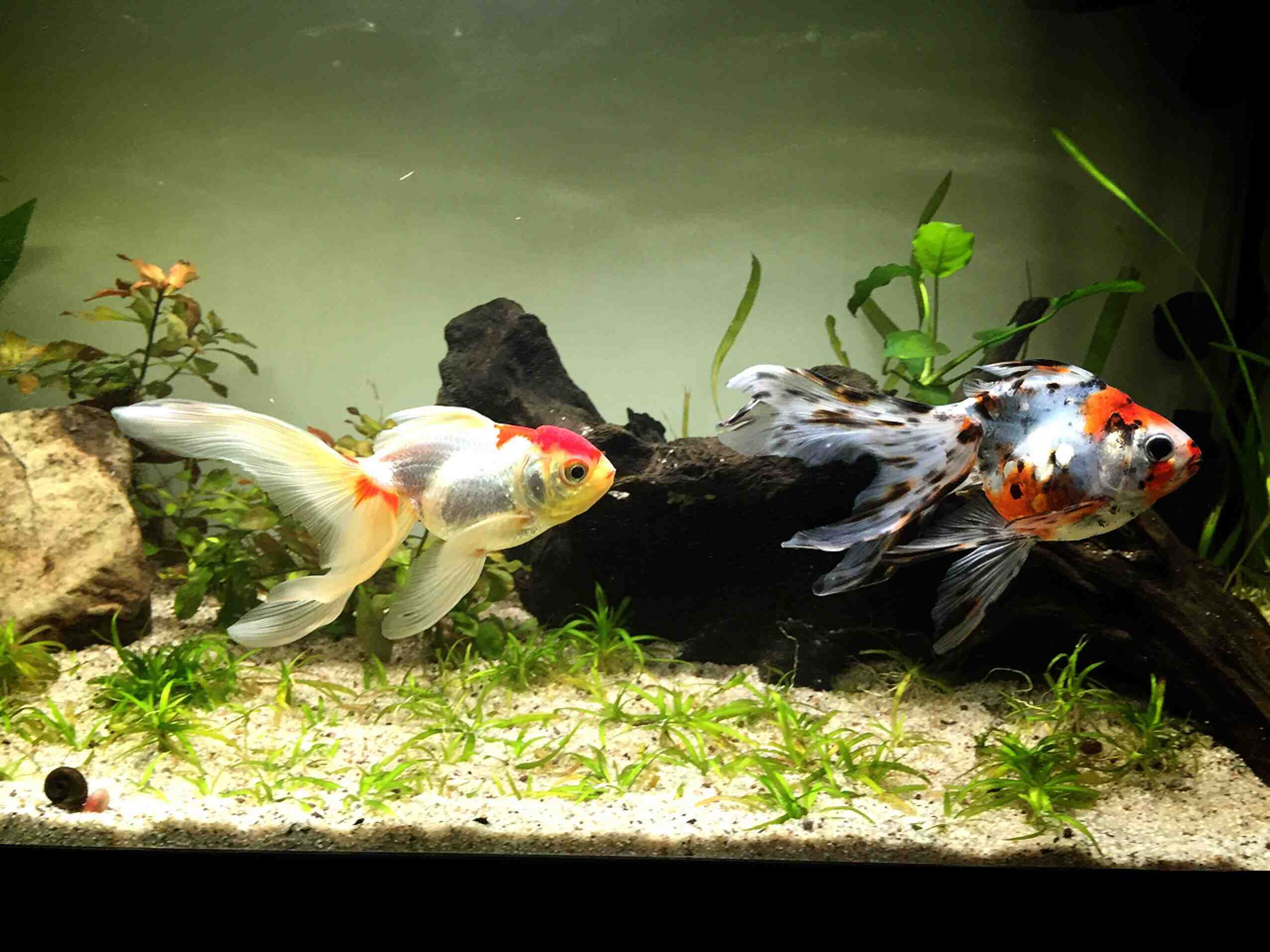 Pourquoi les poissons rouges meurent-ils rapidement?