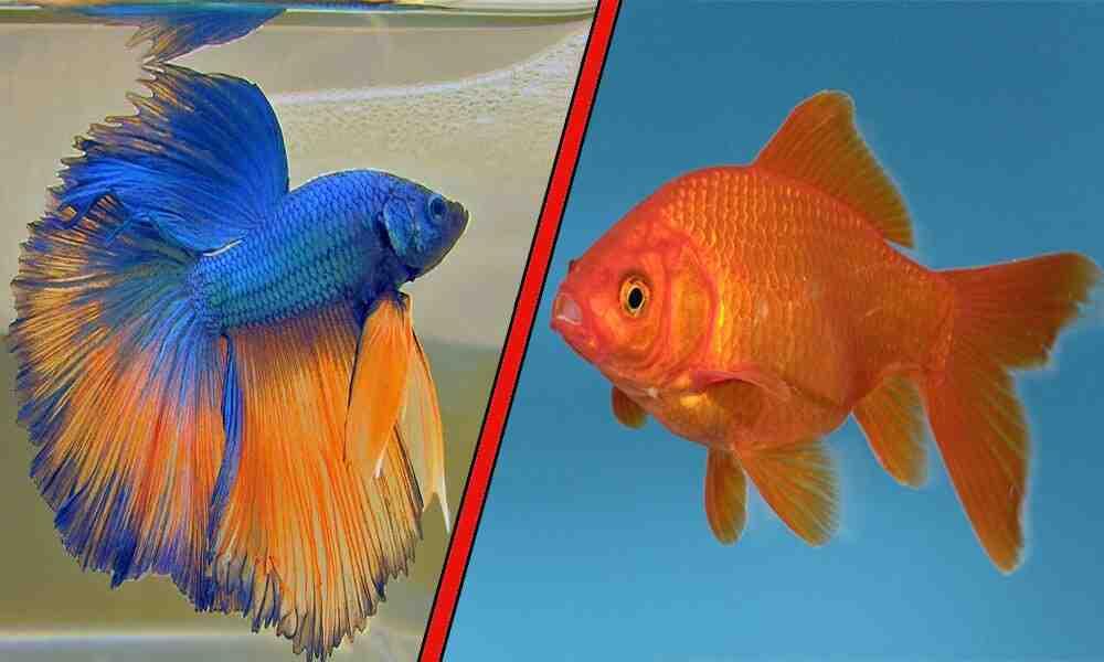 Que sont les poissons d'aquarium sans pompe?