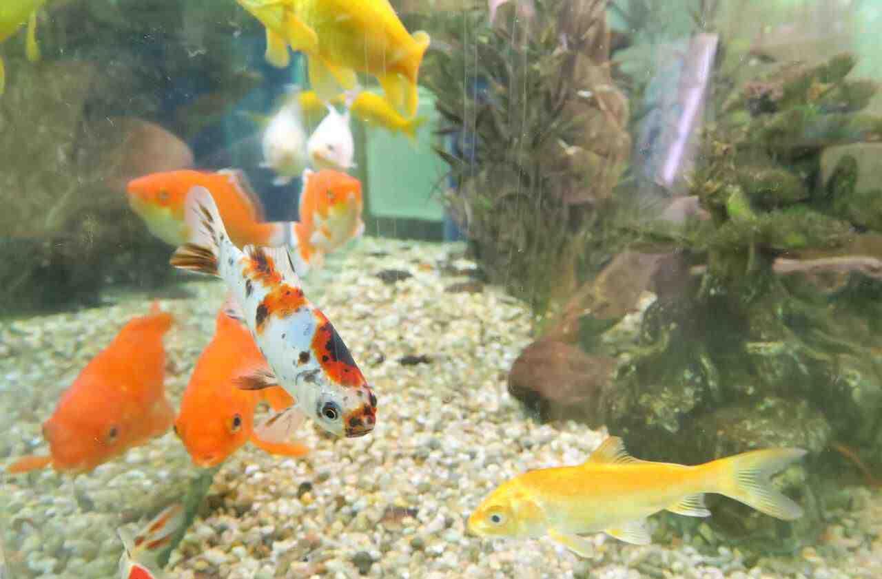 Quel est le poisson le plus résistant en aquarium ?