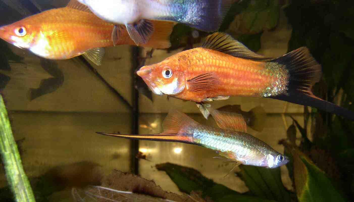 Quel poisson dans un aquarium de 30 litres?