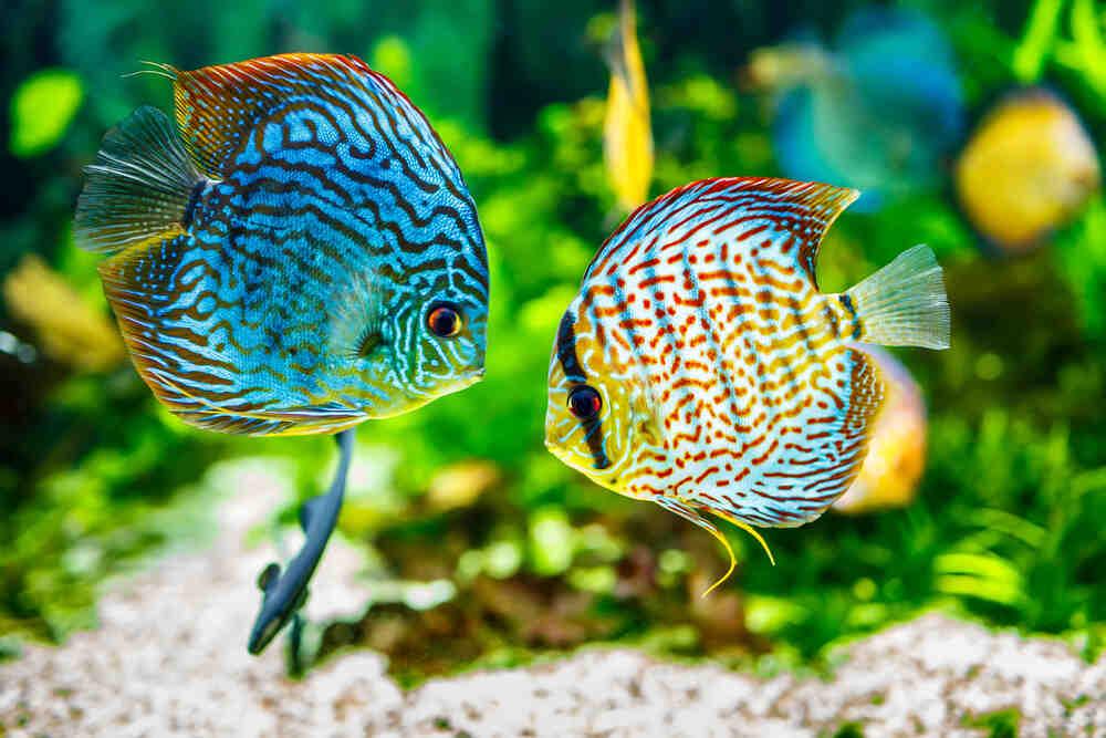 Quel poisson dans un aquarium de 80 litres ?