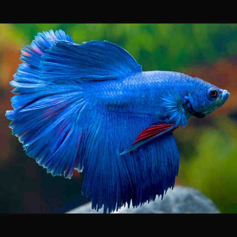 Quel poisson dans un petit aquarium ?