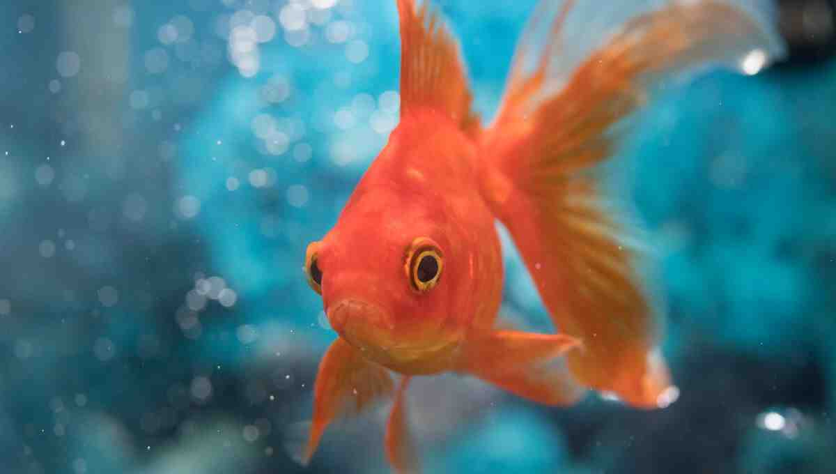 Quel volume d'eau pour les poissons rouges?