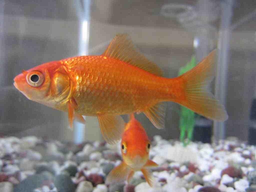 Quelle taille d'aquarium pour 4 poissons rouges?